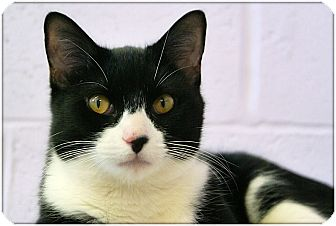 Domestic Shorthair Cat for adoption in Elmwood Park, New Jersey - Houdini