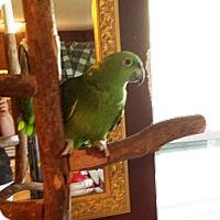 Adopt A Pet :: Joey - Lenexa, KS