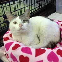 Domestic Shorthair Cat for adoption in Atco, New Jersey - Olin
