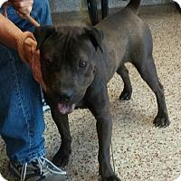 Adopt A Pet :: Dylan - pending - Mira Loma, CA
