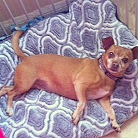 Chihuahua Mix Dog for adoption in Midway City, California - Suzie