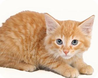 Domestic Shorthair Kitten for adoption in Madison, Tennessee - Tiny - Adopted