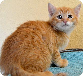 Domestic Mediumhair Cat for adoption in Buena Vista, Colorado - Hagrid