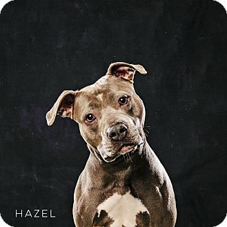 American Staffordshire Terrier Mix Dog for adoption in Calgary, Alberta - Hazel