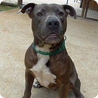 Adopt A Pet :: MOOSE - FORT WORTH, TX
