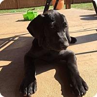 Adopt A Pet :: Puppy Rudy - Austin, TX