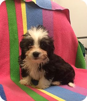 Poodle (Miniature) Mix Puppy for adoption in Allentown, Pennsylvania - Vance
