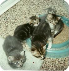 Domestic Shorthair Kitten for adoption in Warren, Ohio - KITTENS