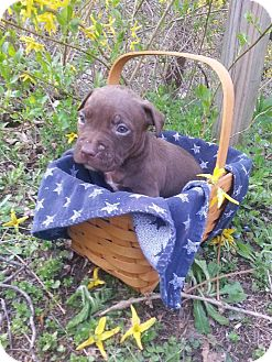 American Pit Bull Terrier Mix Puppy for adoption in Roaring Spring, Pennsylvania - Male # 5