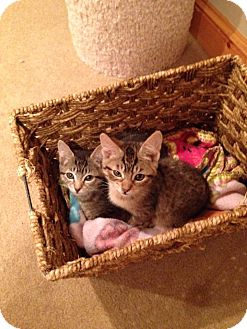 Domestic Shorthair Cat for adoption in Mount Laurel, New Jersey - Tilapia