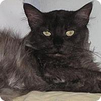 Domestic Longhair Cat for adoption in Sherman Oaks, California - Sweet Pea