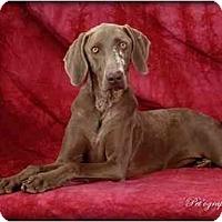 Adopt A Pet :: CHLOE II - Las Vegas, NV