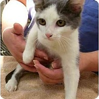 Adopt A Pet :: Gus - Odenton, MD