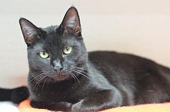 Domestic Shorthair Cat for adoption in Atlanta, Georgia - Faddle 14306