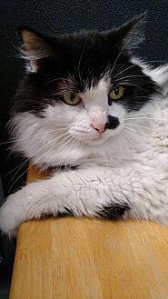 Domestic Longhair Cat for adoption in Austintown, Ohio - Puck