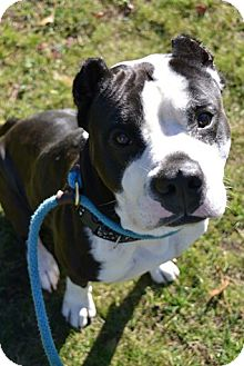 Terrier (Unknown Type, Medium) Mix Dog for adoption in Brookhaven, New York - Beowulf