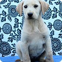 Adopt A Pet :: Amelia - Starkville, MS