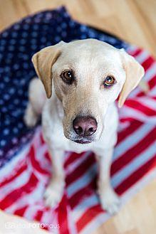 Labrador Retriever Dog for adoption in Phoenix, Arizona - Bon Bon