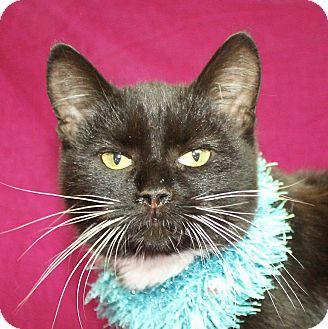 Domestic Shorthair Cat for adoption in Jackson, Michigan - Oscar