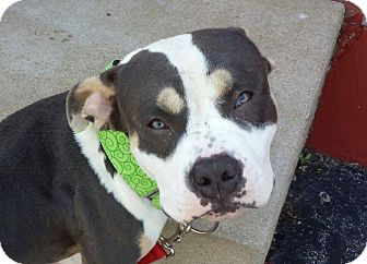 Staffordshire Bull Terrier/Pit Bull Terrier Mix Dog for adoption in O'Fallon, Missouri - Bane *STL AREA FOSTER NEEDED*