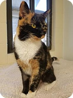 Calico Cat for adoption in Hendersonville, North Carolina - Ginger