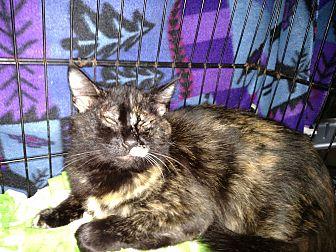 Domestic Mediumhair Cat for adoption in Kingston, Washington - Aileen