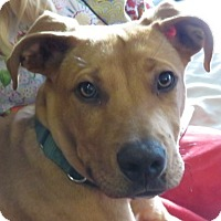 Adopt A Pet :: Gilley!  Puppy - St Petersburg, FL