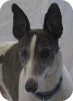 Greyhound Dog for adoption in Swanzey, New Hampshire - Cody