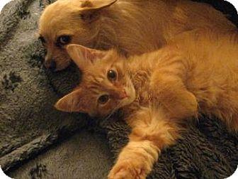 Domestic Mediumhair Cat for adoption in San Jose, California - Tuffy