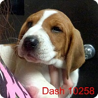 Adopt A Pet :: Dash - Greencastle, NC