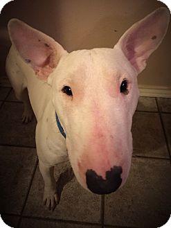 Bull Terrier Mix Dog for adoption in Dallas, Texas - Jett