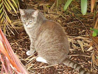 Domestic Mediumhair Cat for adoption in Naples, Florida - Florabelle