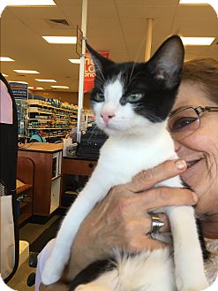 Domestic Shorthair Kitten for adoption in Palm Springs, California - Monty