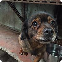 Adopt A Pet :: Angie - Oakton, VA