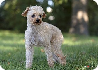 Poodle (Miniature) Dog for adoption in Ile-Perrot, Quebec - FRANZ