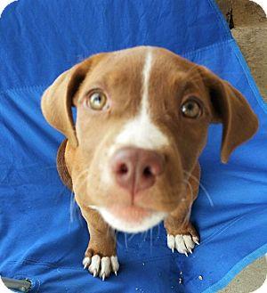 Hound (Unknown Type)/Pit Bull Terrier Mix Puppy for adoption in Wichita Falls, Texas - Uhura