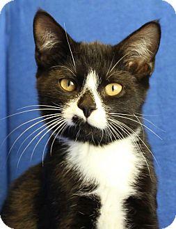 Domestic Shorthair Kitten for adoption in Winston-Salem, North Carolina - Pat