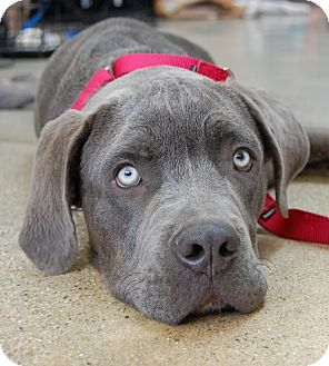 Neapolitan Mastiff Puppy for adoption in West Los Angeles, California - Daniel