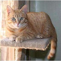 Domestic Shorthair Cat for adoption in Houston, Texas - Rose