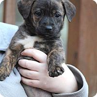 Adopt A Pet :: Tig - Westport, CT
