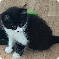 Adopt A Pet :: Pong - Yorba Linda, CA