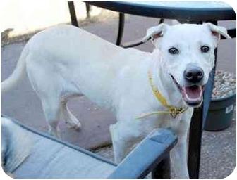 Labrador Retriever Mix Dog for adoption in Emory, Texas - Dallas