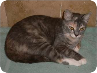 Calico Cat for adoption in lake elsinore, California - Jazzy