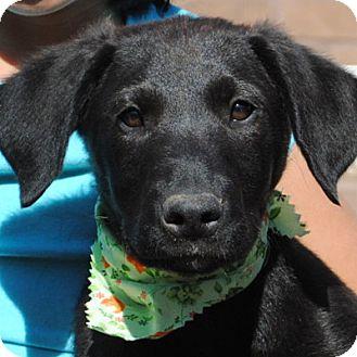 Labrador Retriever/Golden Retriever Mix Puppy for adoption in Weatherford, Texas - Laird