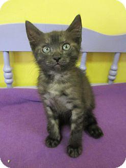 Domestic Mediumhair Kitten for adoption in Mobile, Alabama - Shikira