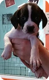 Boxer/Cocker Spaniel Mix Puppy for adoption in Westminster, California - Pinata