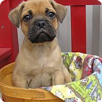 Adopt A Pet :: Pugsley - Groton, MA