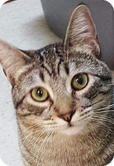 Domestic Shorthair Cat for adoption in Auburn, California - Rod Taylor