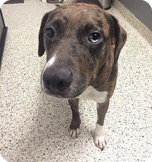 Catahoula Leopard Dog Mix Dog for adoption in St. Louis, Missouri - Mia