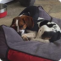 Beagle Mix Dog for adoption in Williamsburg, Virginia - Elroy